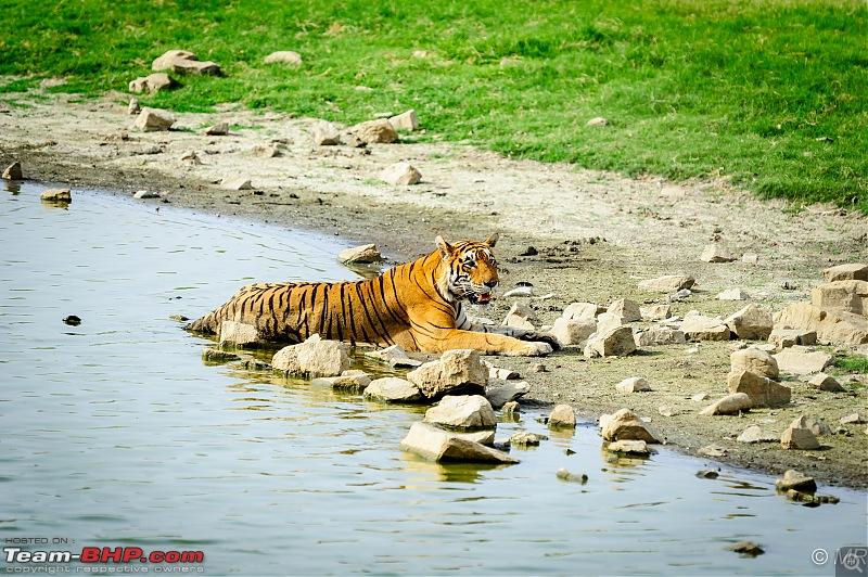The Gods have been kind: Ranthambore National Park-tiger-lake1.jpg