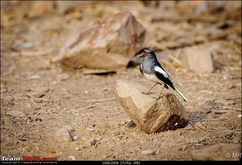 The Gods have been kind: Ranthambore National Park-magpie-robin-singing1.jpg