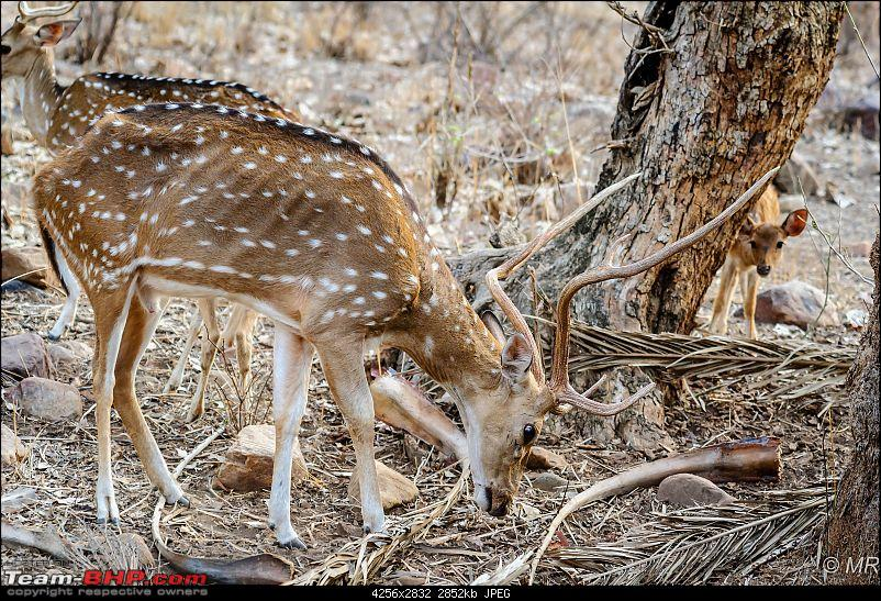 The Gods have been kind: Ranthambore National Park-fawn1.jpg