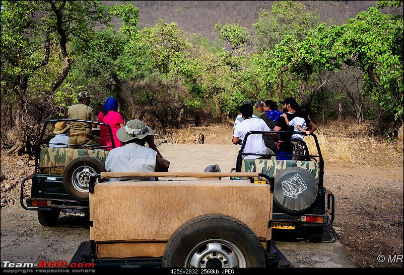 The Gods have been kind: Ranthambore National Park-gypsys-chasing-tiger12.jpg