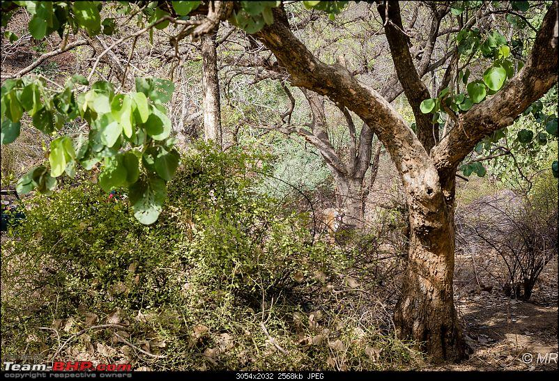The Gods have been kind: Ranthambore National Park-tiger-moving-away1.jpg