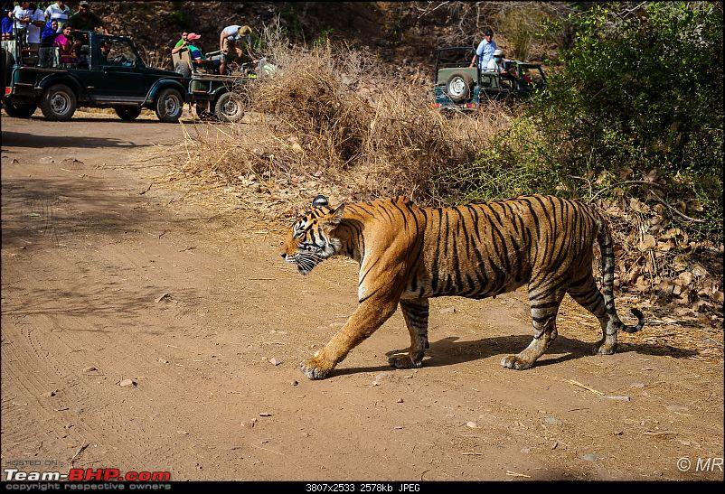 The Gods have been kind: Ranthambore National Park-tiger-crossing-just-ahead-us1.jpg