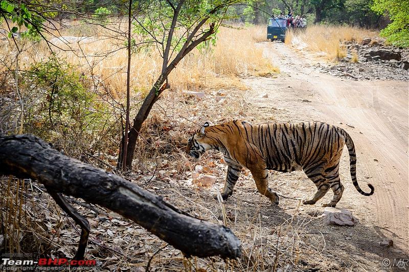 The Gods have been kind: Ranthambore National Park-then-gone1.jpg