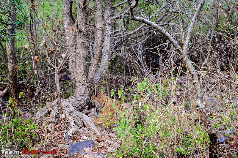 The Gods have been kind: Ranthambore National Park-tiger-road1.jpg