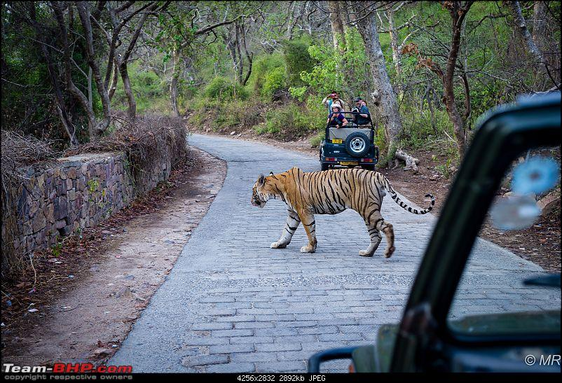 The Gods have been kind: Ranthambore National Park-tiger-crossing1.jpg