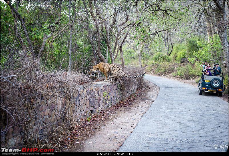 The Gods have been kind: Ranthambore National Park-tiger-jumping12.jpg