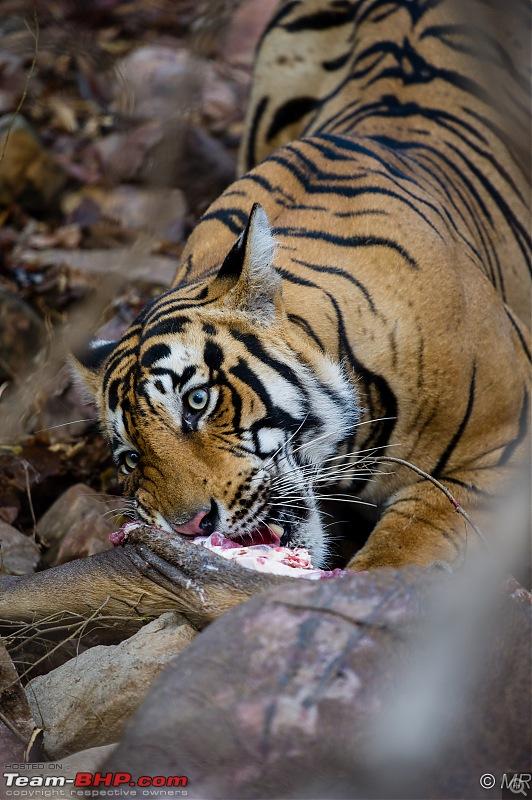 The Gods have been kind: Ranthambore National Park-tiger-eating13.jpg
