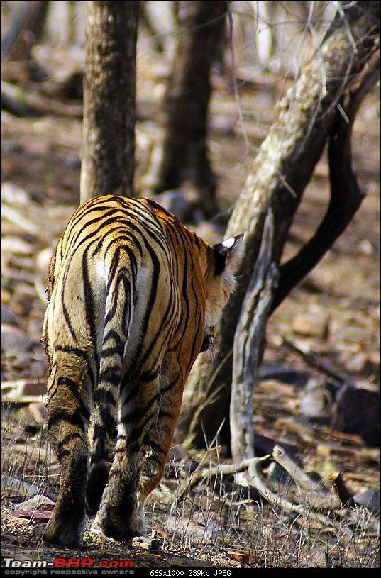 Ranthambhore : Water Hole Animal Census, tigers, forts and more....-dsc09112.jpg