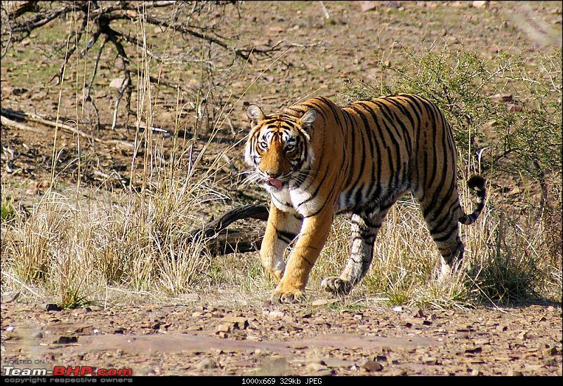 Ranthambhore : Water Hole Animal Census, tigers, forts and more....-dsc09301.jpg