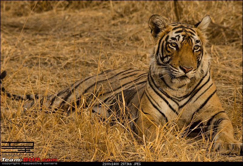 Rambling in the wild : Ranthambore, Jhalana, Bharatpur & more-avi_3823.jpg