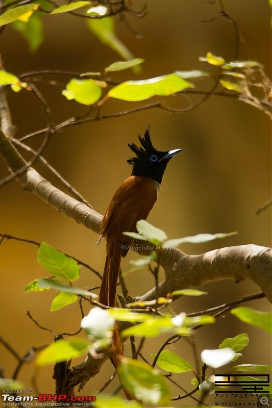 Rambling in the wild : Ranthambore, Jhalana, Bharatpur & more-apfc-juv-1.jpg