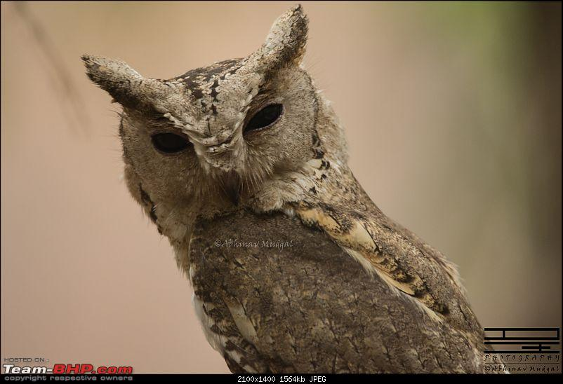 Rambling in the wild : Ranthambore, Jhalana, Bharatpur & more-indian-scops-owl-1.jpg
