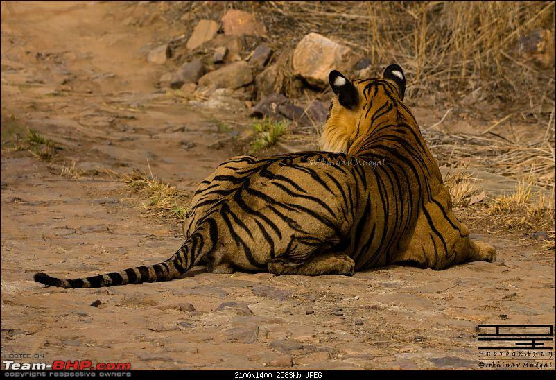 Rambling in the wild : Ranthambore, Jhalana, Bharatpur & more-tiger-sitting-2.jpg