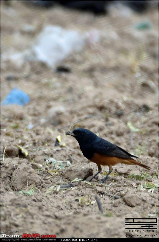 Rambling in the wild : Ranthambore, Jhalana, Bharatpur & more-black-redstart.jpg