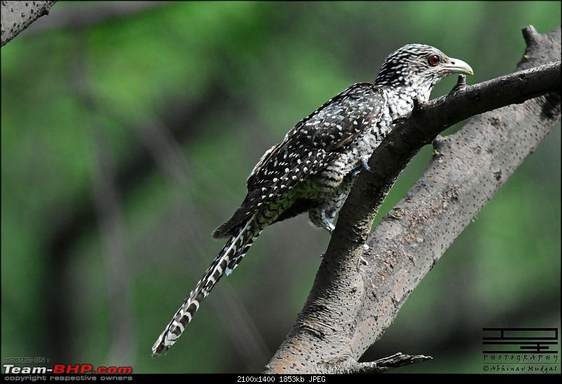 Rambling in the wild : Ranthambore, Jhalana, Bharatpur & more-cuckoo-koel-female.jpg
