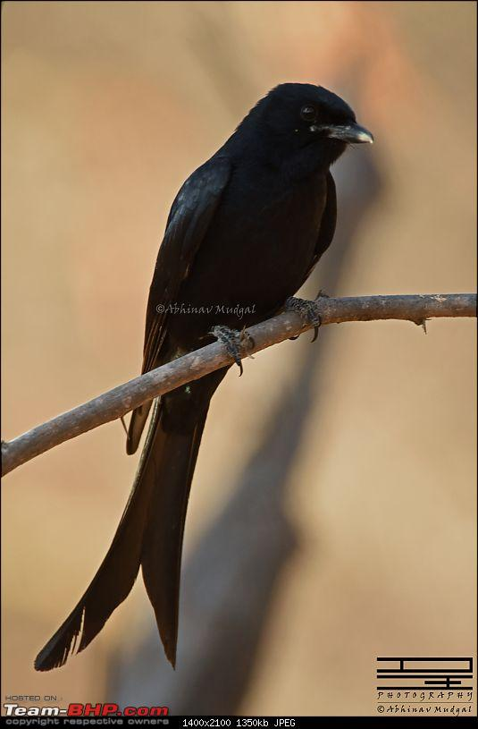 Rambling in the wild : Ranthambore, Jhalana, Bharatpur & more-drongo-black-1.jpg