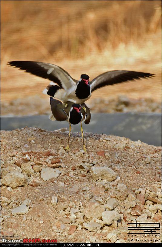 Rambling in the wild : Ranthambore, Jhalana, Bharatpur & more-lapwing-mating.jpg