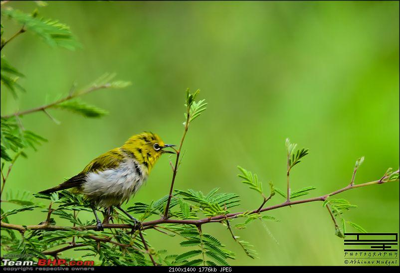 Rambling in the wild : Ranthambore, Jhalana, Bharatpur & more-oriental-white-eye.jpg