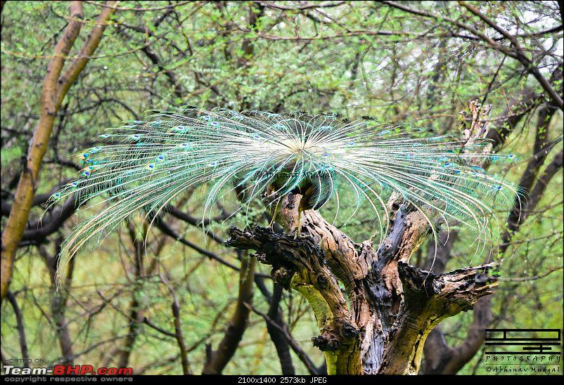 Rambling in the wild : Ranthambore, Jhalana, Bharatpur & more-peacock-drying.jpg