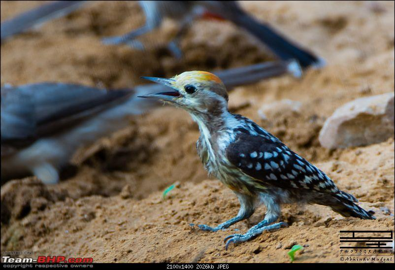 Rambling in the wild : Ranthambore, Jhalana, Bharatpur & more-woodpecker-yellow-crowned-1.jpg