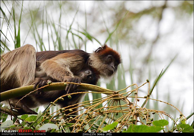Landcruising: Uganda to Congo border-red-colobus-baby.jpg