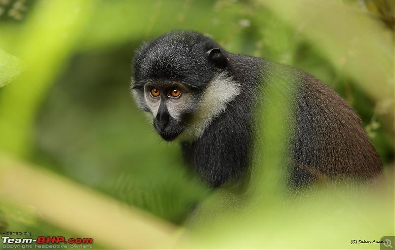 Landcruising: Uganda to Congo border-l-hoest-monkey.jpg