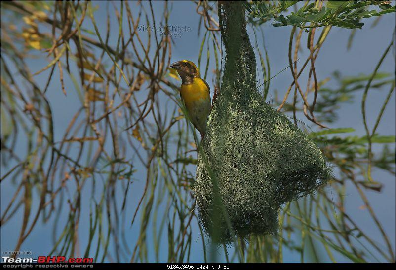 Super Sunday at Bhigwan - A photologue-baya-weaver.jpg