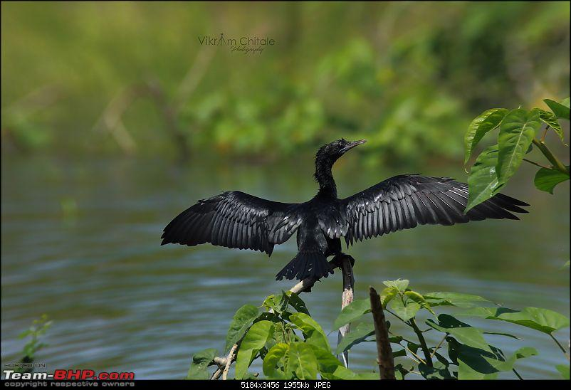 Super Sunday at Bhigwan - A photologue-cormorant.jpg