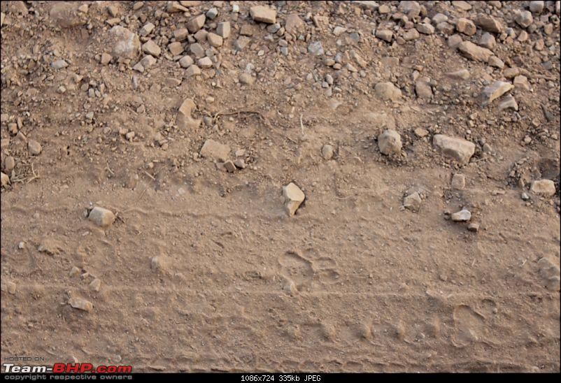 Mumbai to Ranthambore: Solo drive in an Isuzu D-Max V-Cross-tiger-pug-marks.jpg