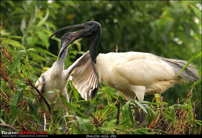 Hyd-Bandipur-Madumalai-Nagarhole-ibis-feeding-2.jpg