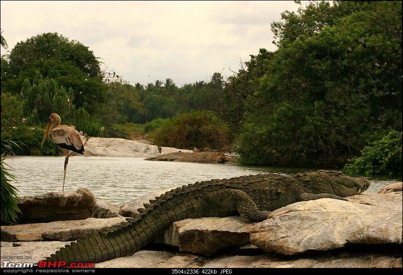 Hyd-Bandipur-Madumalai-Nagarhole-crocodile.jpg