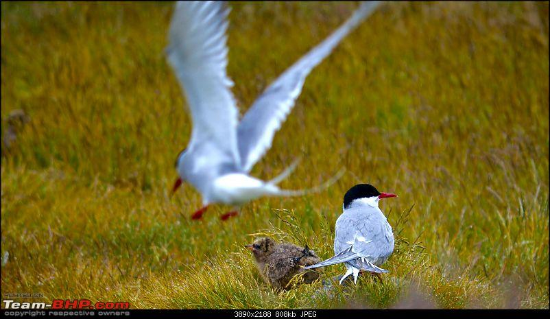 A Roadtrip in Iceland - 66°N-2.-arctic-tern_younglings.jpg