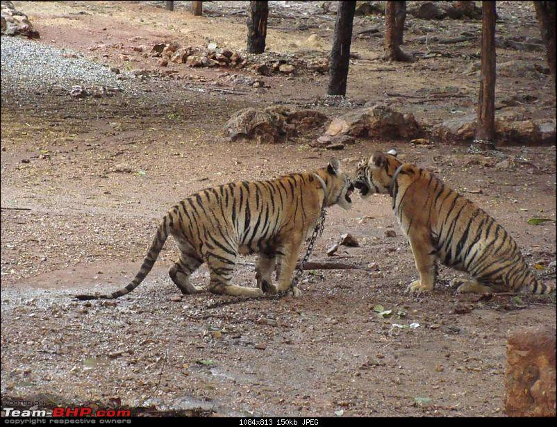 10 days across Thailand (2009) - and 8 more days (2011)-tiger-16k150.jpg