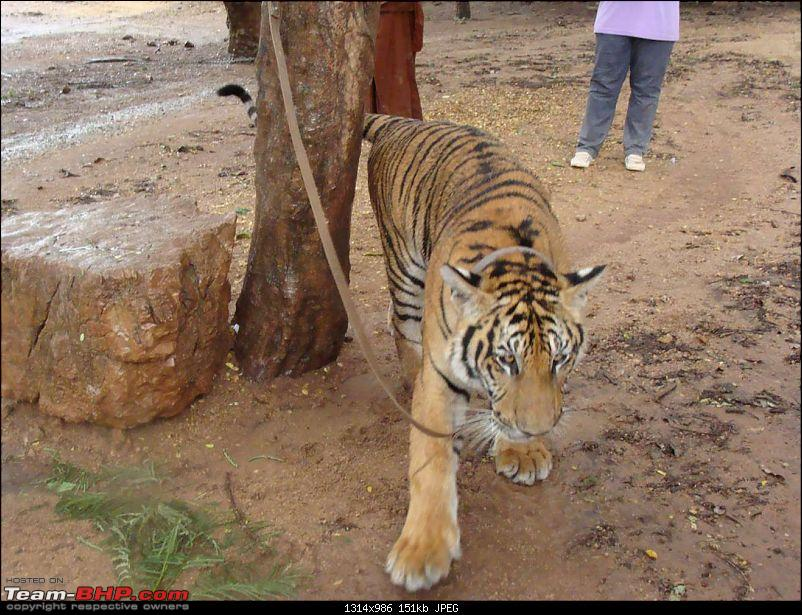 10 days across Thailand (2009) - and 8 more days (2011)-tiger-17k150.jpg