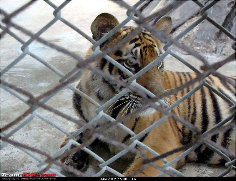 10 days across Thailand (2009) - and 8 more days (2011)-tiger-cnxpty-10k150.jpg