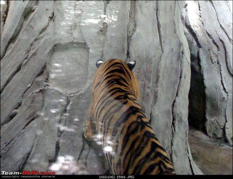 10 days across Thailand (2009) - and 8 more days (2011)-tiger-cnxpty-11k150.jpg