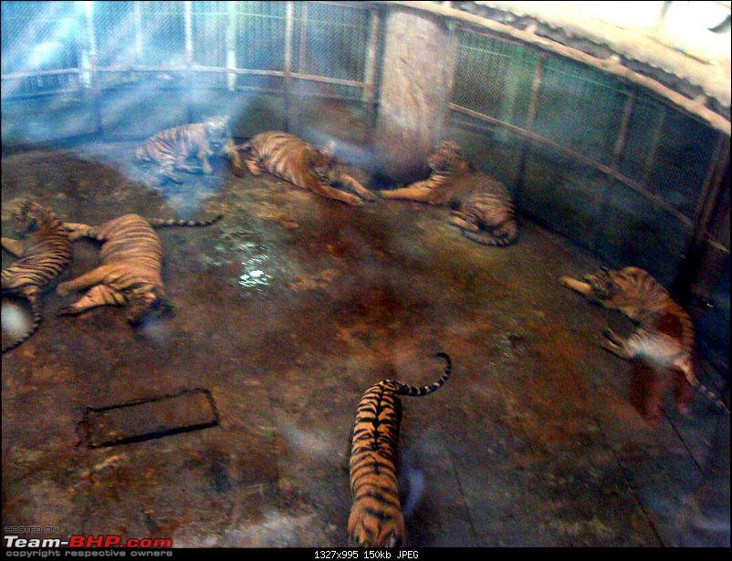 10 days across Thailand (2009) - and 8 more days (2011)-tiger-cnxpty-20k150.jpg