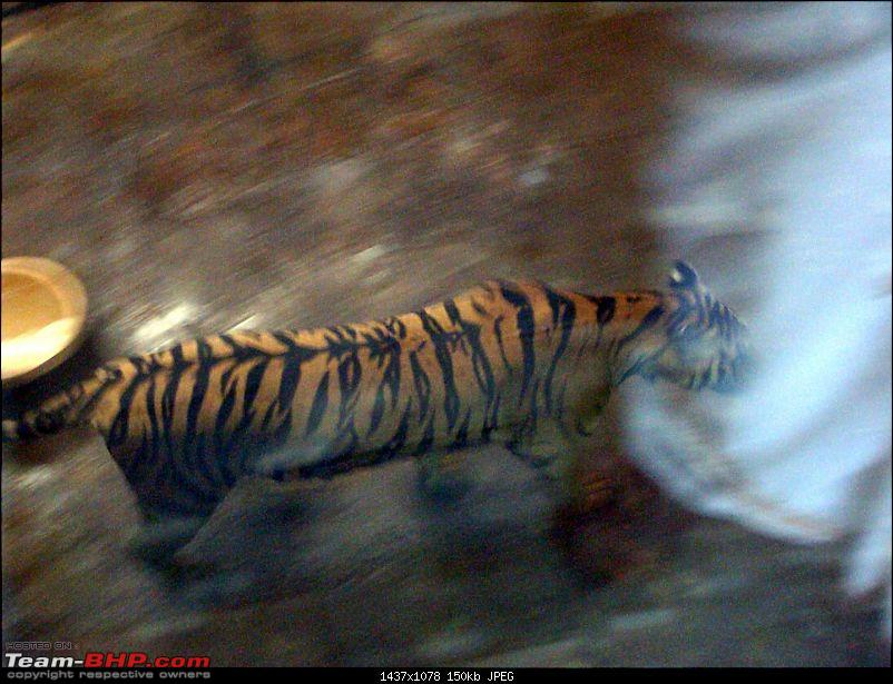 10 days across Thailand (2009) - and 8 more days (2011)-tiger-cnxpty-21k150.jpg