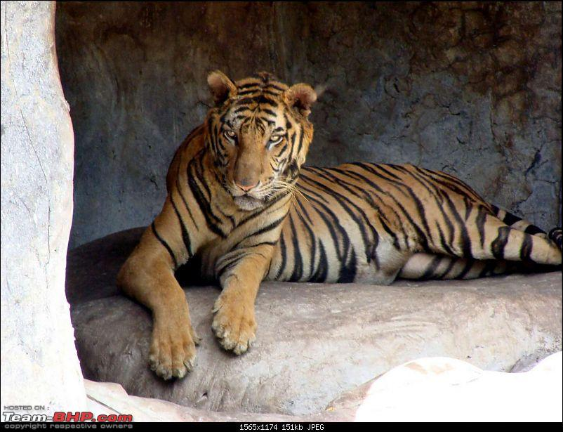 10 days across Thailand (2009) - and 8 more days (2011)-tiger-cnxpty-26k150.jpg