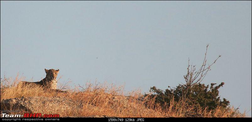 Wayanad: 100 meters away from the most elusive cat in the world – the Leopard!-leopard-resting.jpg