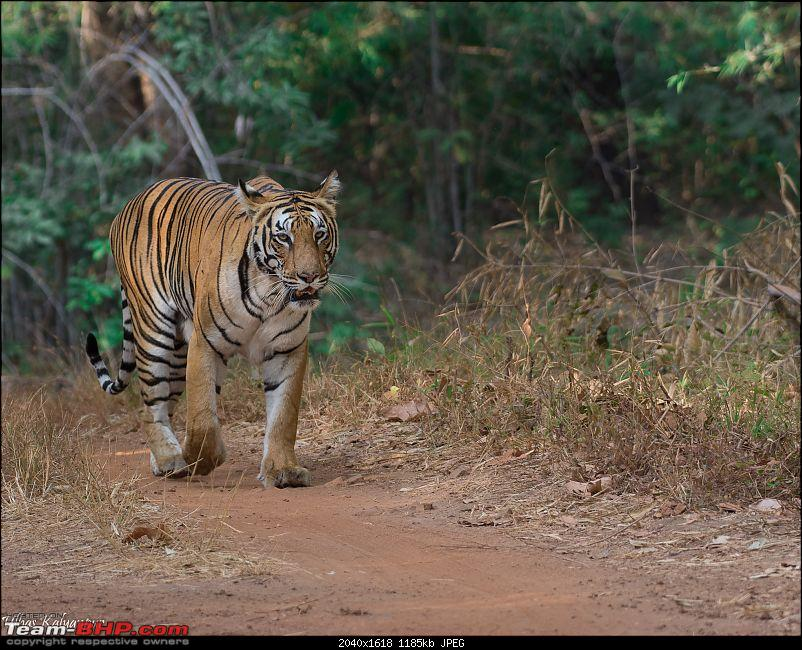 Tadoba Wilderness!-kuhani-female.jpg