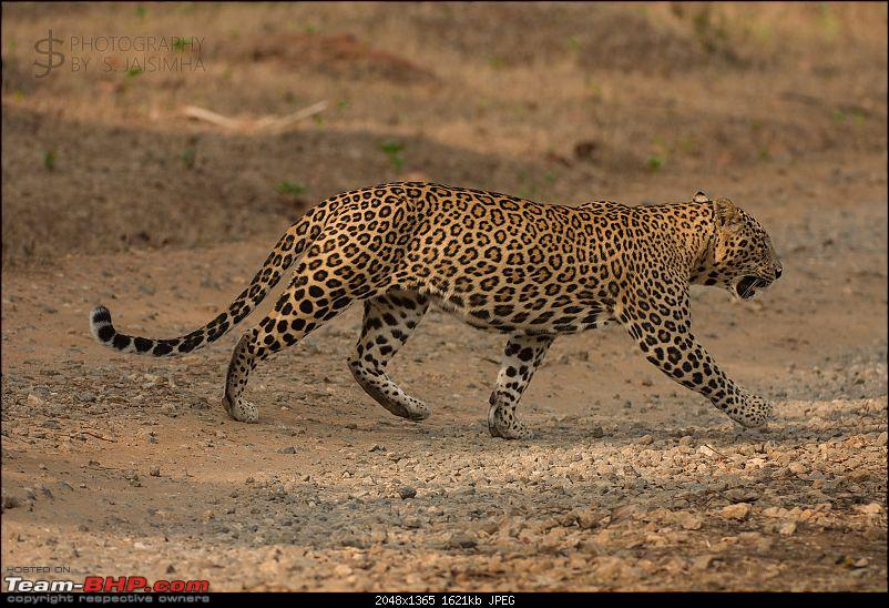 Kabini never disappoints! Four safaris, seven sightings-kbnfeb17014.jpg