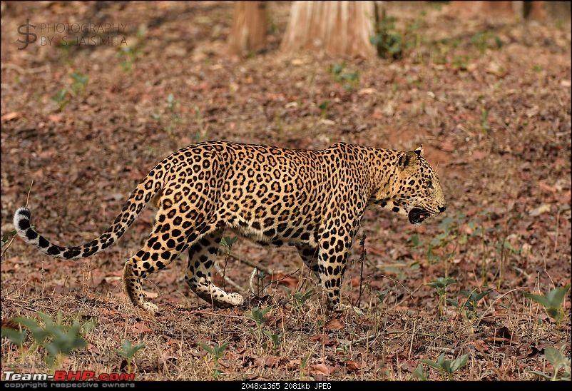 Kabini never disappoints! Four safaris, seven sightings-kbnfeb17015.jpg