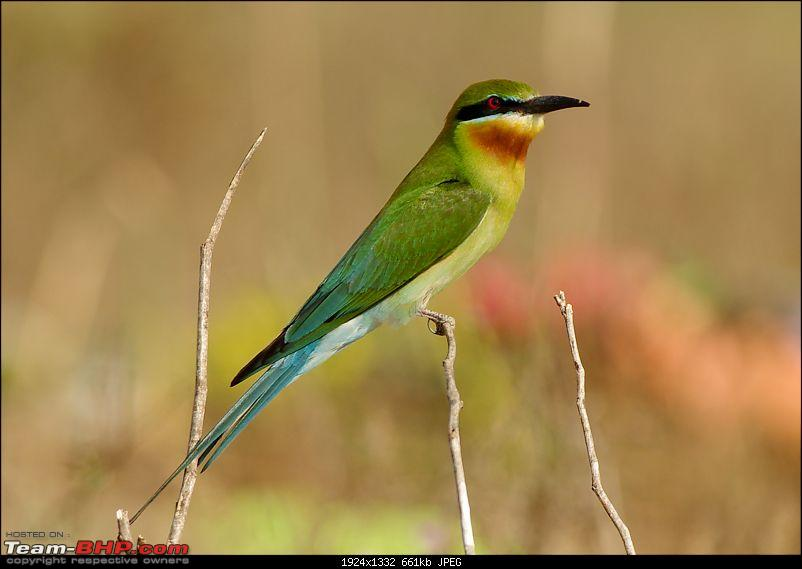 Birding around Mysore - A Photologue-bluetailed-bee-eater1.jpg
