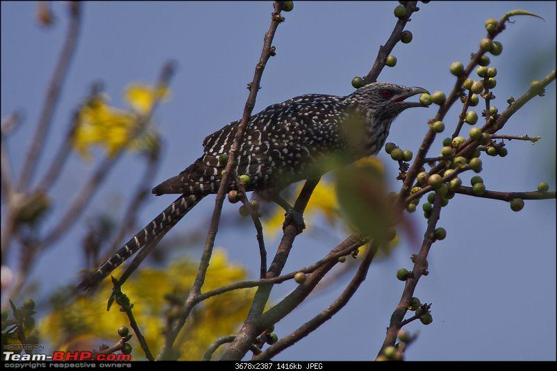 Birding around Mysore - A Photologue-asian-koel-female2.jpg