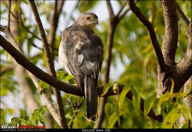 Birding around Mysore - A Photologue-shikra1.jpg