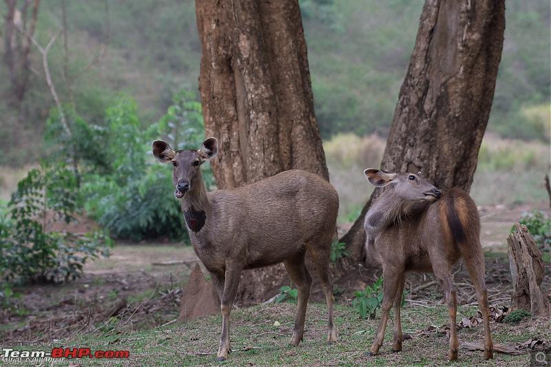 Tadoba Wilderness!-sambars.jpg