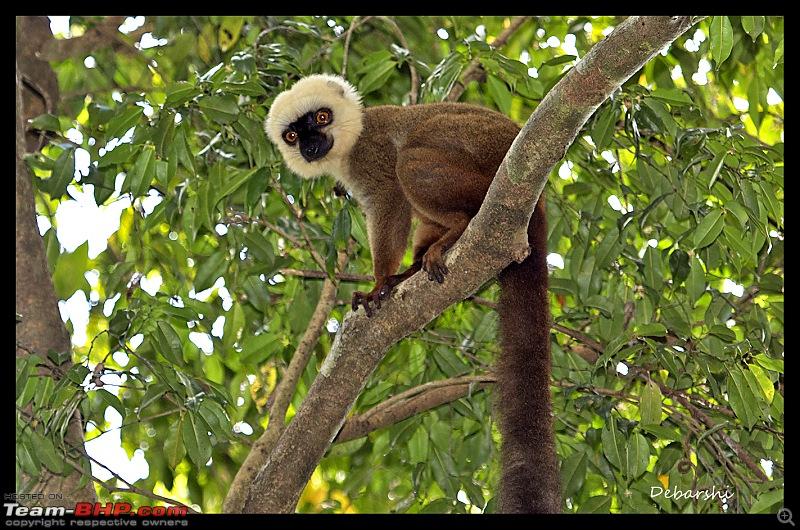 Madagascar: A wilderness experience in the land of Lemurs & Tsingy-nosy-manga-lemur.jpg