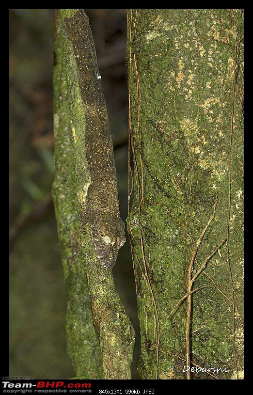 Madagascar: A wilderness experience in the land of Lemurs & Tsingy-nosy-manga-leaf-tailed-gecko1.jpg