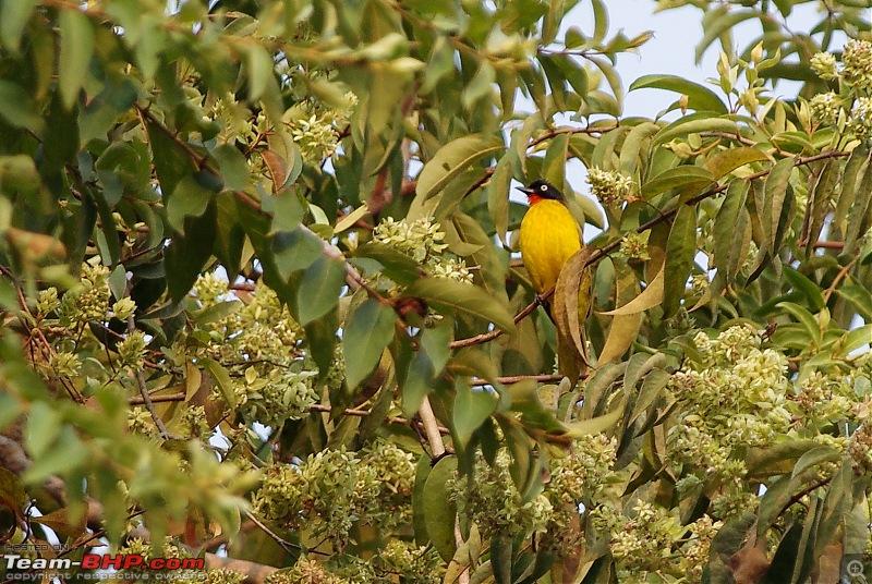 Birding around Mysore - A Photologue-flamethroated-bulbul1.jpg